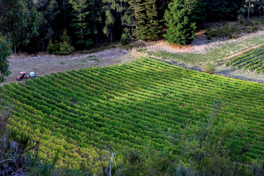 overhead perspective of vineyard, with rows of green vines and forest in background