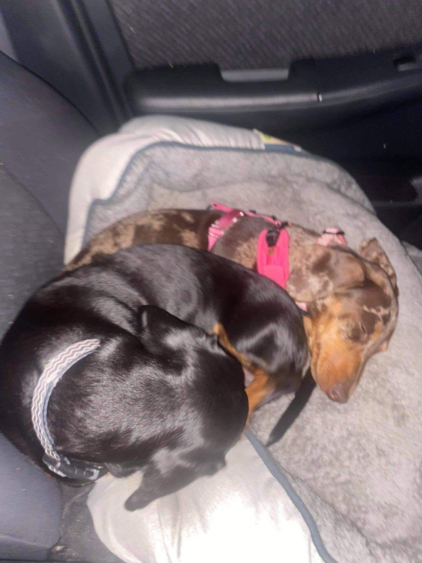 Two dachshunds cuddled up together on the back of a car seat