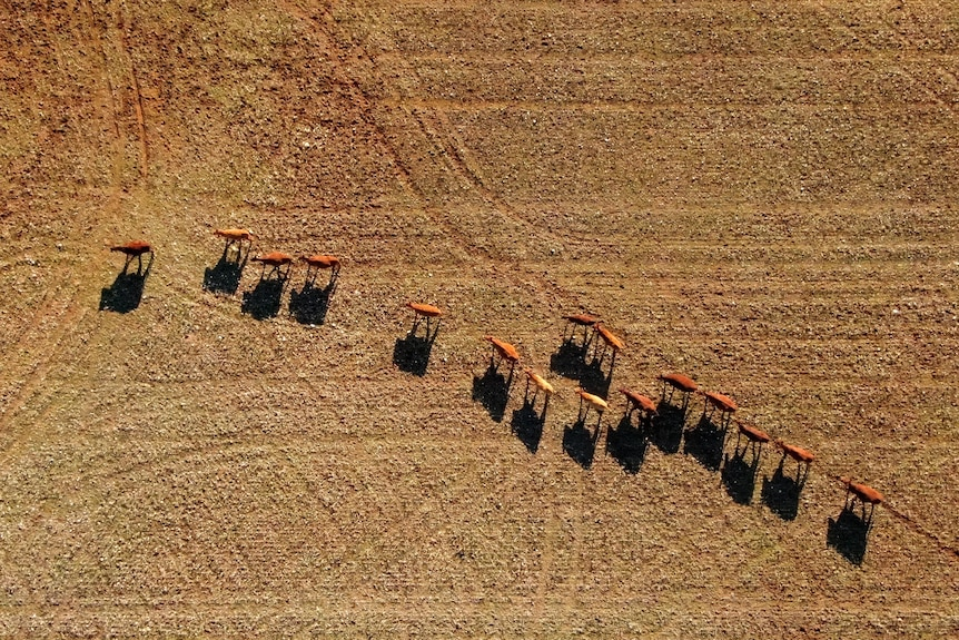 Cows walking across a brown paddock from above
