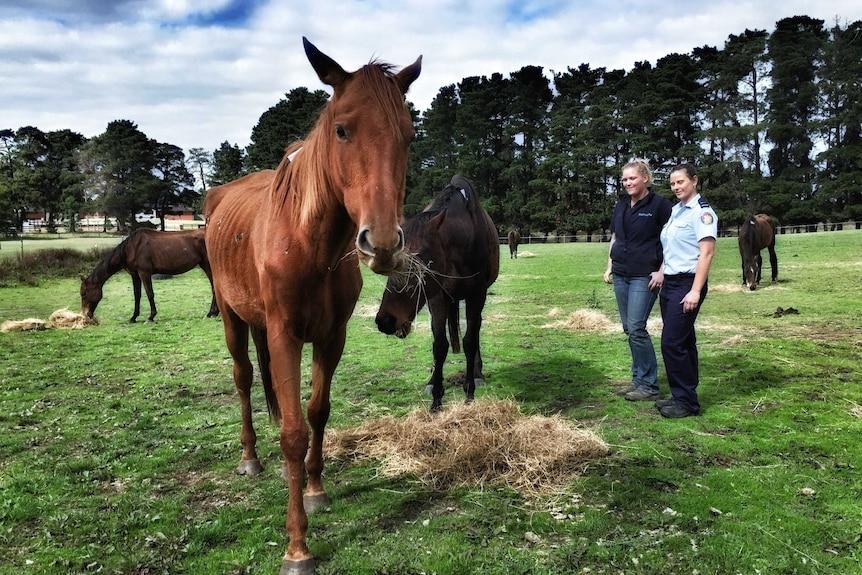 A starving horse eating hay with two RSPCA officials looking on.
