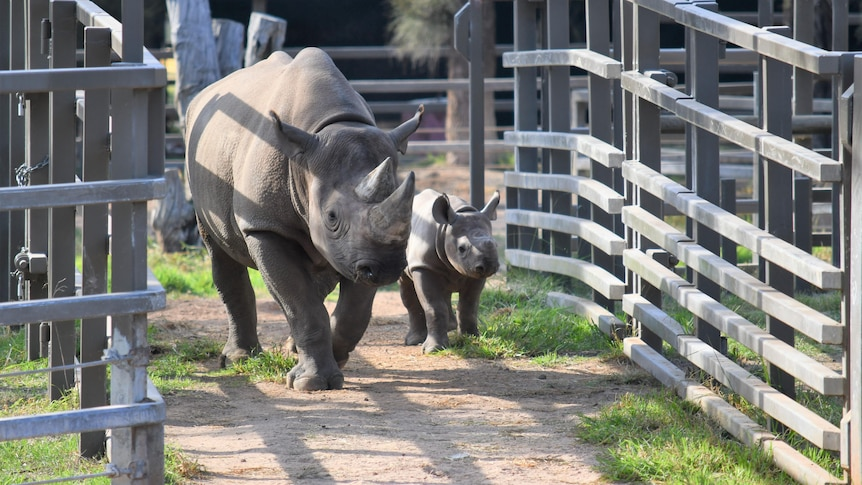 Two black rhinos, mother and calf, walk through the gates to their encolsure.