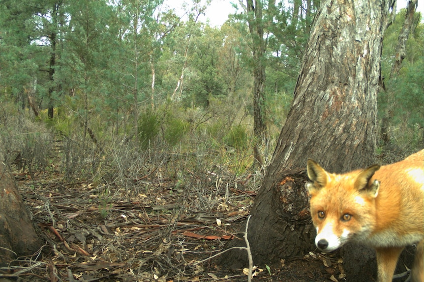 A fox stands looking at a camera with scrub behind it.
