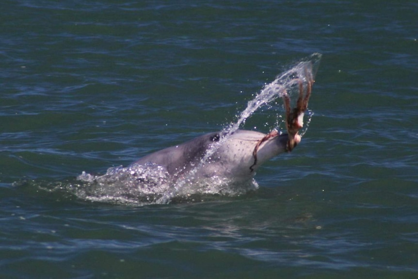 Dolphin shaking an octopus