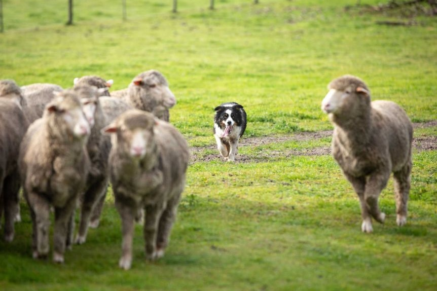 A working dog moves up on sheep.