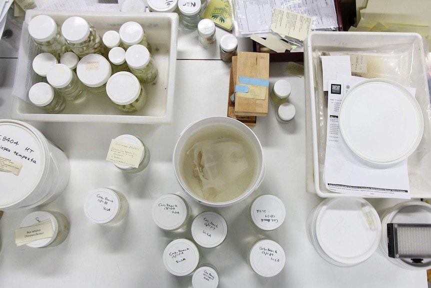A birdseye view of jars containing marine life, and a container with a large dead jellyfish inside.