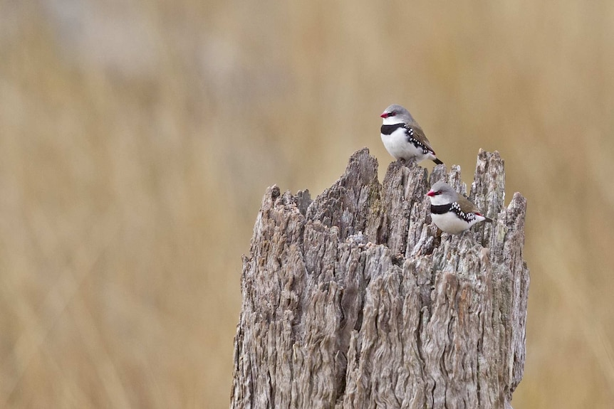 Two small birds with speckles and red beaks sit on an old tree