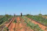 Backpackers harvesting asparagus in Victoria's Sunraysia region.