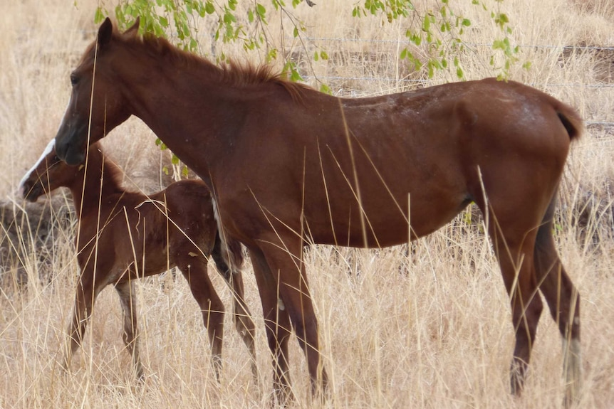 A feral mare and foal near a highway
