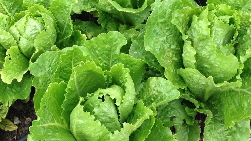 Close up of lettuce plants in garden. Dec 2013.