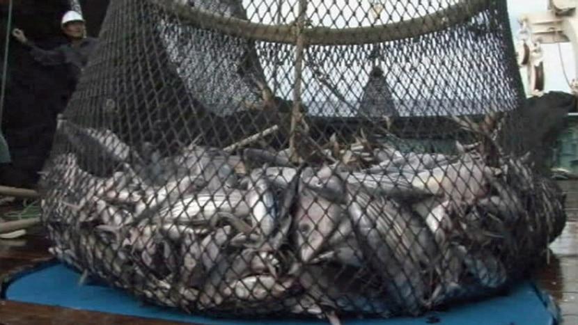 Tuna being fished