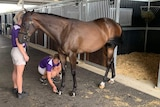 Two handlers prepare a horse for its presentation at yearling sales in Sydney.