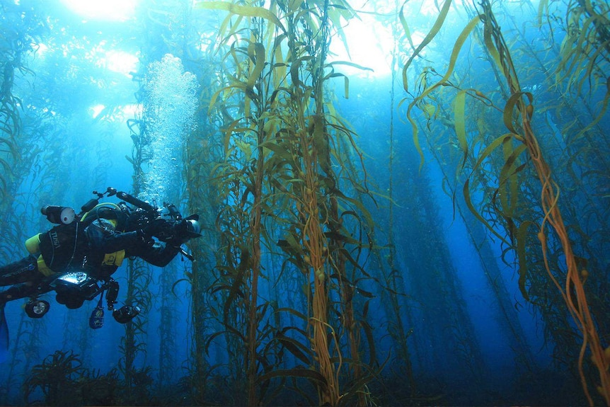 Diver swims through kelp forest.