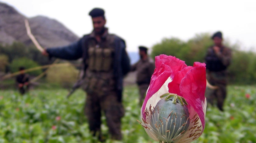 Afghan security personnel destroy opium poppies in a field during a poppy eradication campaign