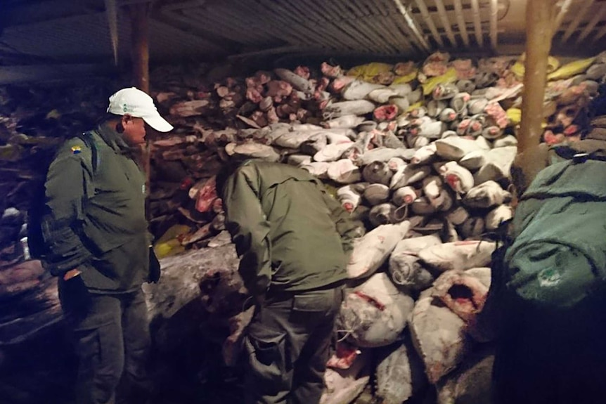 A large number of frozen fish is shown in a Chinese vessel, seized in the Galapagos Marine Reserve.