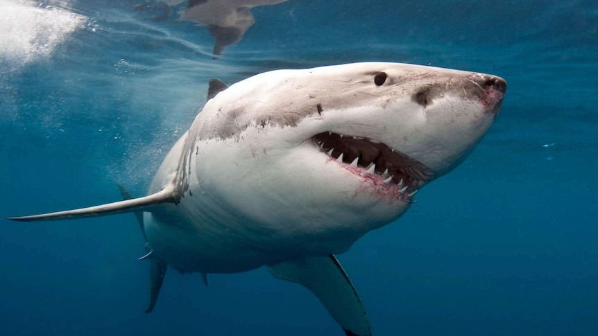 Shark drumline trial scrapped after just two white pointers caught in two years