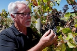 A winemaker inspecting grapes in a vineyard.