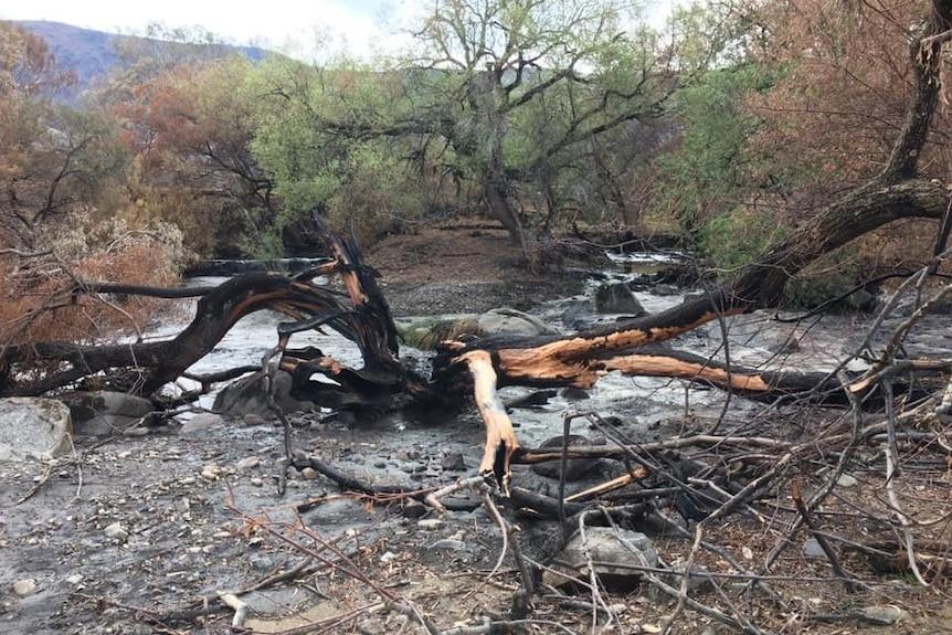A large, blackened, dead tree has fallen into a creek that has blackened water