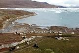 Sheep on the coastline near icy waters