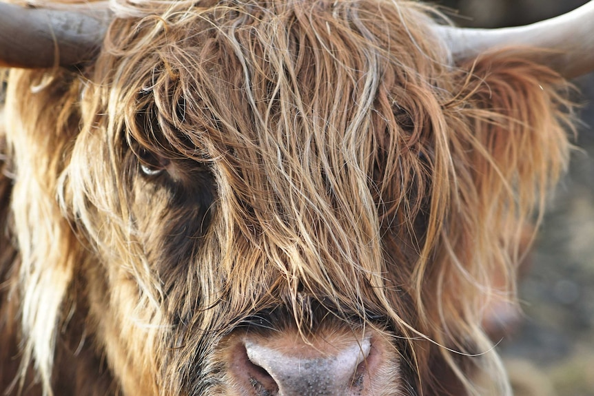 Close up of the face of a highland cow with his eyes covered in hair