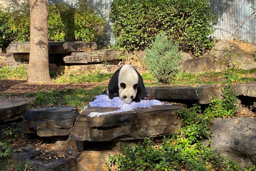 A panda in a zoo enclosure playing with shredded paper