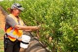 Two workers wearing orange hi-vis vests picking blueberries.