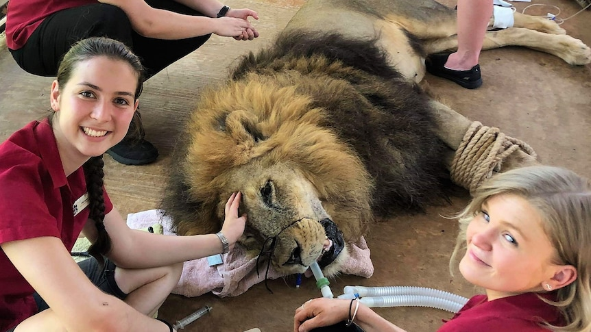 Three nurses monitoring anaesthetic on Leo the constipated lion at Crocodylus Park in Darwin.
