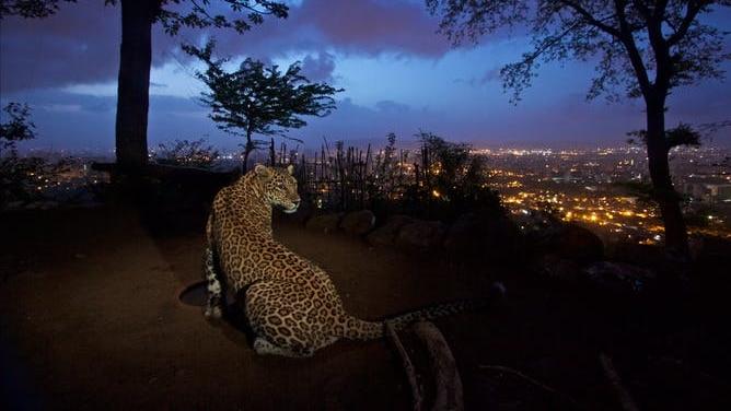 A leopard overlooks Mumbai