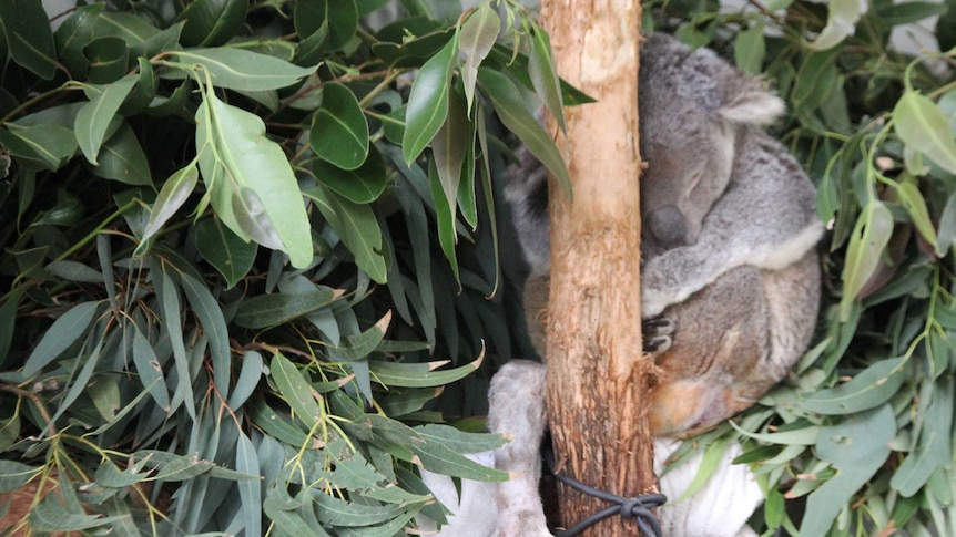 Bruiser is asleep in a tree-like structure surrounded by gum leaves