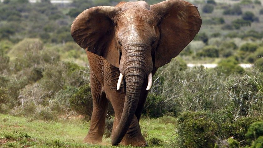 An African elephant tears at grass with its trunk in the Addo Elephant Park, South Africa, in January, 2008.