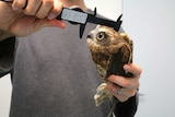 A side on shot of a boobook owl as it is measured by a man using a ruler.