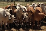 A group of Brahman cattle.