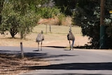 A pair of emus take a leisurely stroll down a leafy street in a lovely-looking WA town.