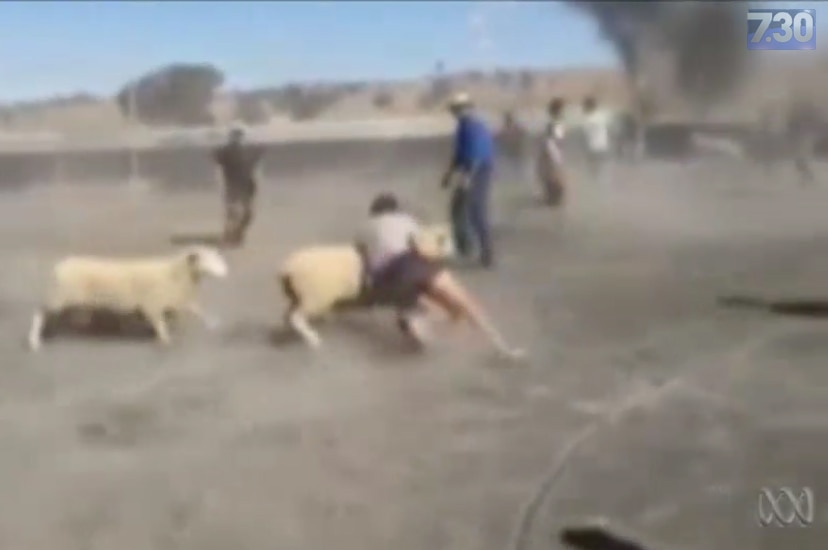 King's student tries to drag a ram to ground