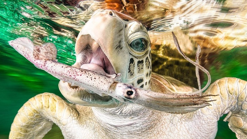 A turtle catches a squid in its mouth.