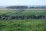 Cows grazing in the grassy field of a dairy farm