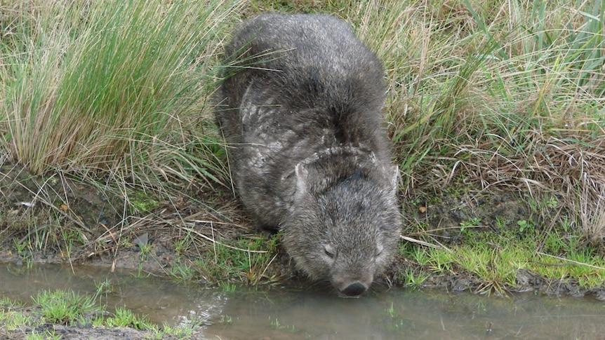 A wombat in Tasmania taking a roadside drink