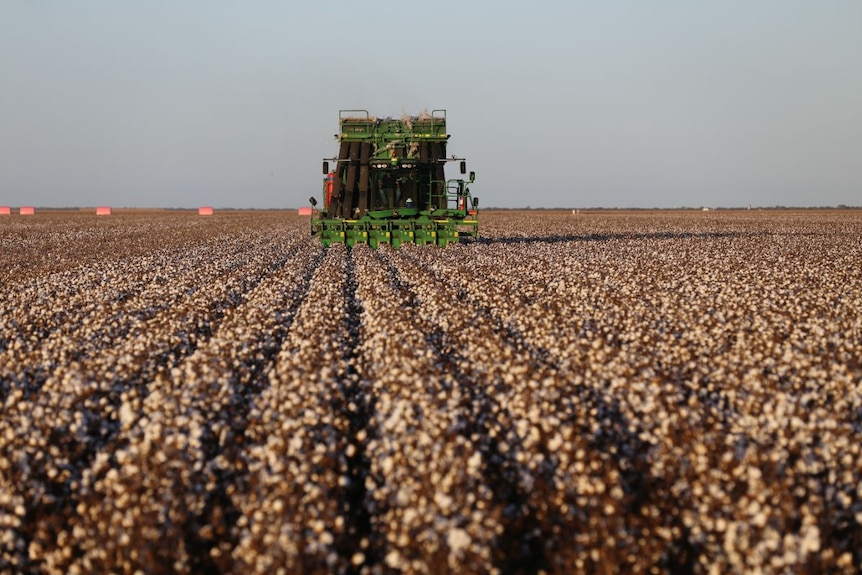 A green harvester in a field of white cotton.