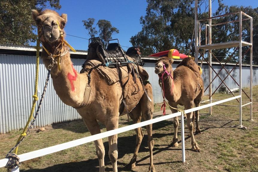 racing camels in Tara