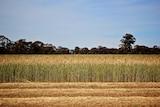A half-harvested wheat crop