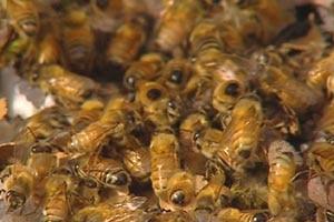 Leatherwood honey 'at risk'.