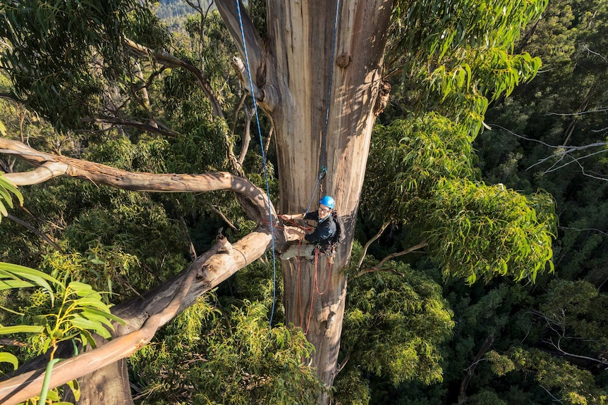 Man wearing blue helmet facing the camera, suspended on climbing ropes halfway up a giant eucalypt tree