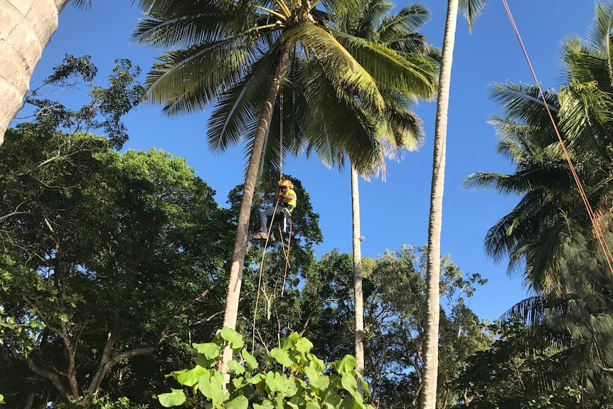 A man is suspended from ropes, surrounded by coconut trees.