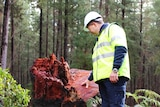 a man wearing fluoro and a hard hat looks down on a wide red gum stump with forest in the background