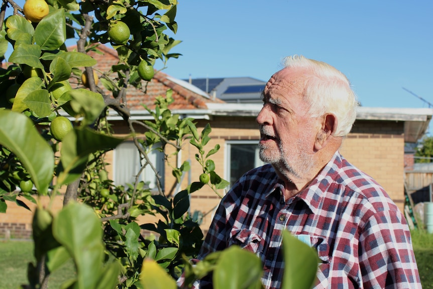 An elderly man looks up to a lemon tree on a sunny day, a light brown brick house is in the background.