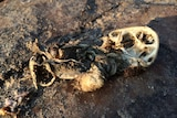 A mangled cane toad body that has dried out in the sun.