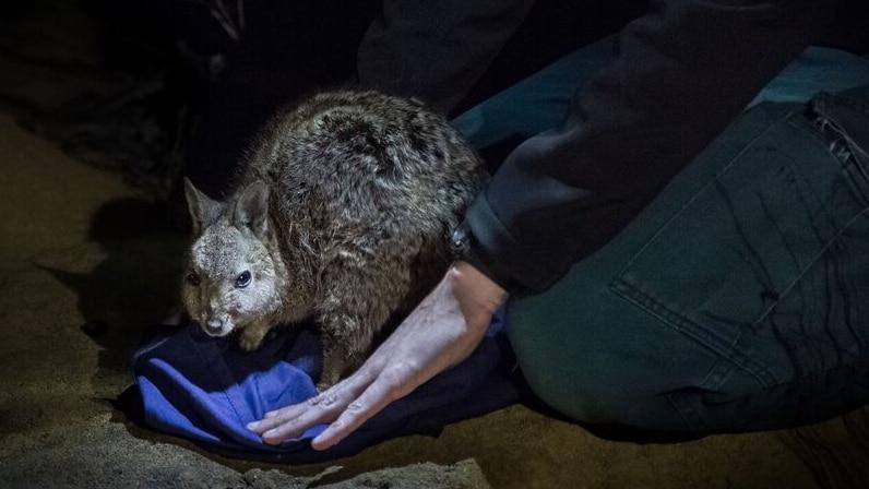 A Banded-Hare wallaby at night