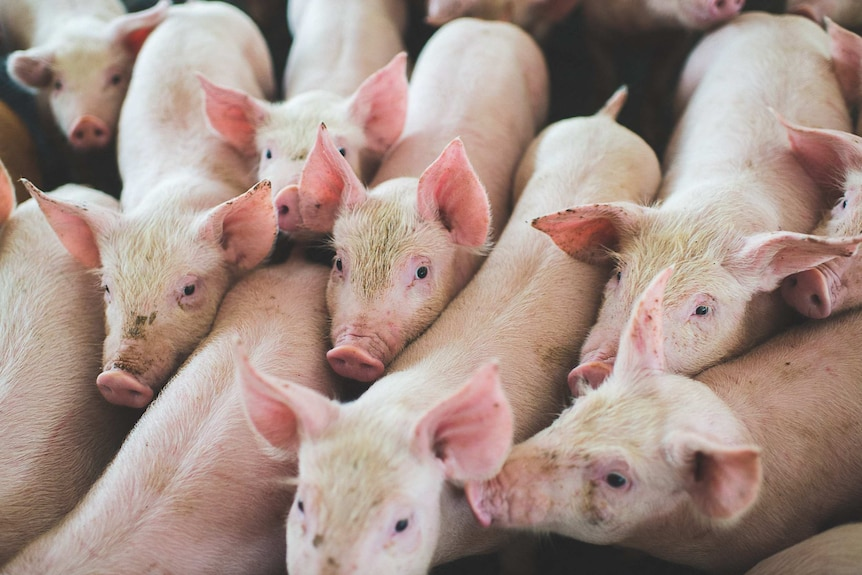 A close up of eight piglets.