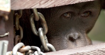 An orangutan named Oki, trapped behind bars, looks out from a cage