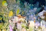 Reef ocean perch Helicolneus percoides