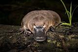 A platypus on a log